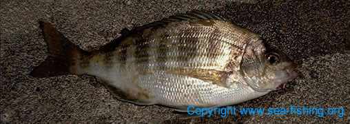 [` Black Bream Pictures of Black Bream Pictures Picture ]